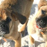 Jack and Jinjer as puppies, although they do not look much different today, just a little grayer around the muzzles